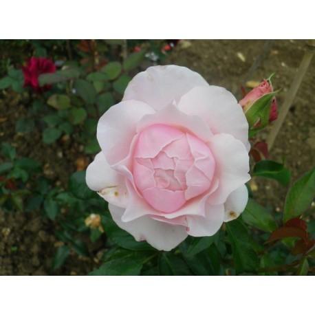 Rosa 'Gilles de Brissac' - Rosaceae - Rosier