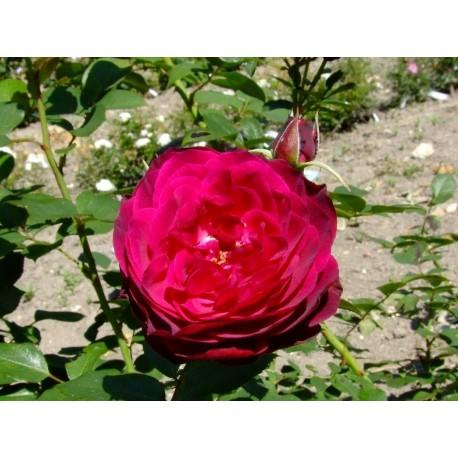 Rosa 'Empreinte de Dorieux' - Rosaceae - Rosier