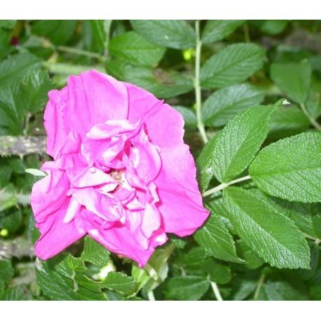 Rosa 'Moje Hammarberg' - Rosaceae - Rosier