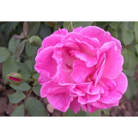Rosa 'Monsieur' - Rosaceae - Rosier