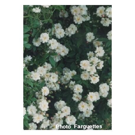 Rosa 'Moonlight' - Rosaceae - Rosier