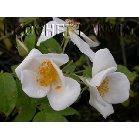 Rosa 'Moschata Autumnalis' - Rosaceae - Rosier