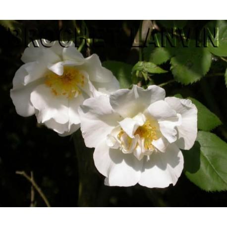 Rosa 'Mountain Snow' - Rosaceae - Rosier