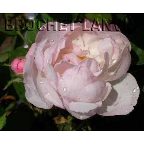 Rosa 'Mousseline' - Rosaceae - Rosier mousseux
