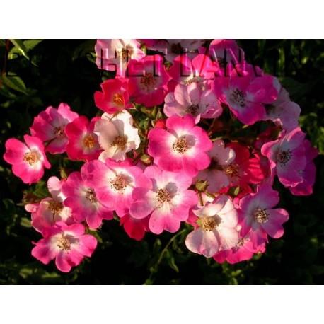 Rosa 'Mozart' - Rosaceae - Rosier