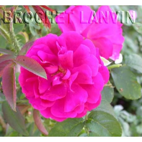 Rosa 'Mrs Anthony Waterer' - Rosaceae - Rosier