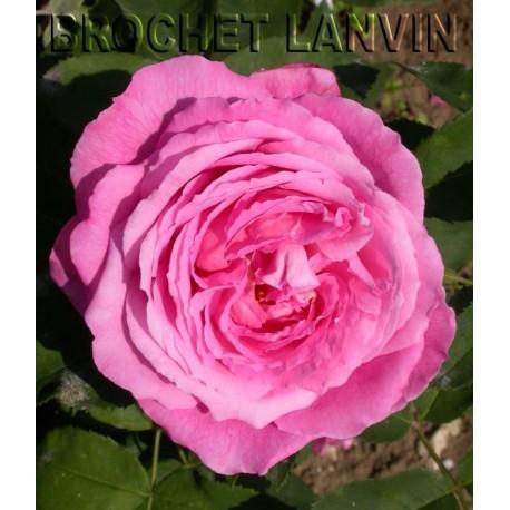Rosa 'Mrs John Laing' - Rosaceae - Rosier