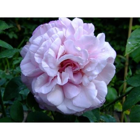 Rosa 'Mrs Paul' - Rosaceae - Rosier arbuste