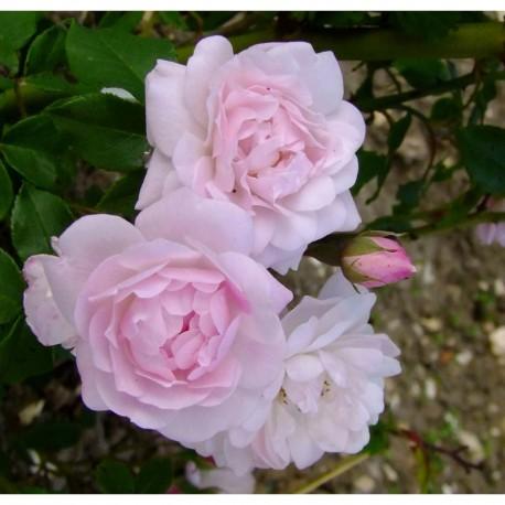 Rosa 'Multiflore de Veaumarcus' - Rosaceae - Rosier