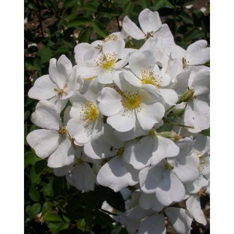 Rosa 'Musquée sans soucis' - Rosaceae - rosier