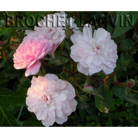 Rosa 'Narrow Water' - Rosaceae - Rosier