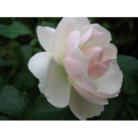 Rosa 'Neige d'été' - Rosaceae - rosier