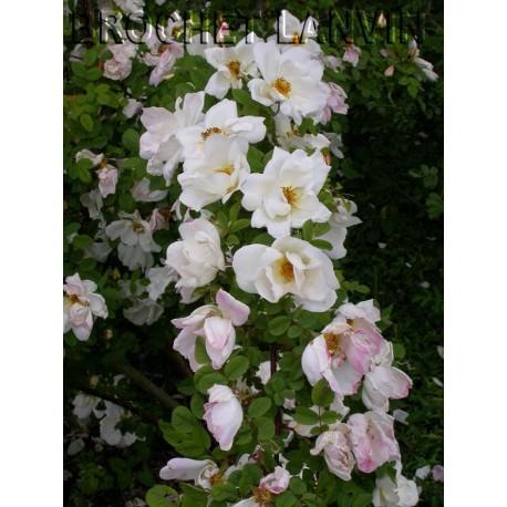 Rosa 'Nevada' - Rosaceae - Rosier