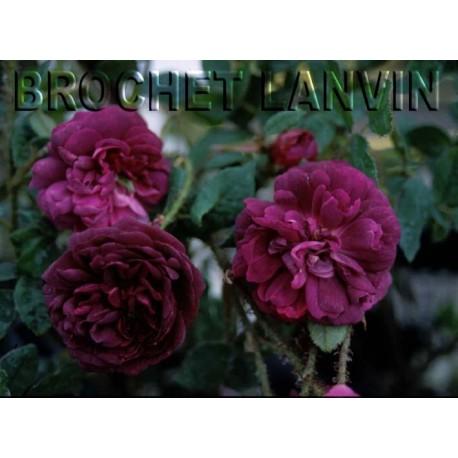 Rosa 'Nuits de Young' - Rosaceae - Rosier