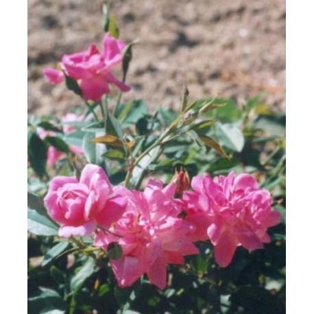 Rosa 'Old Blush' - Rosaceae - Rosier
