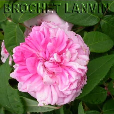 Rosa 'Omar Khayyam' - Rosaceae - Rosier