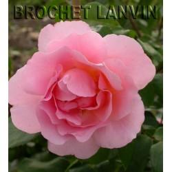 Rosa 'Opaline' - Rosaceae - Rosier
