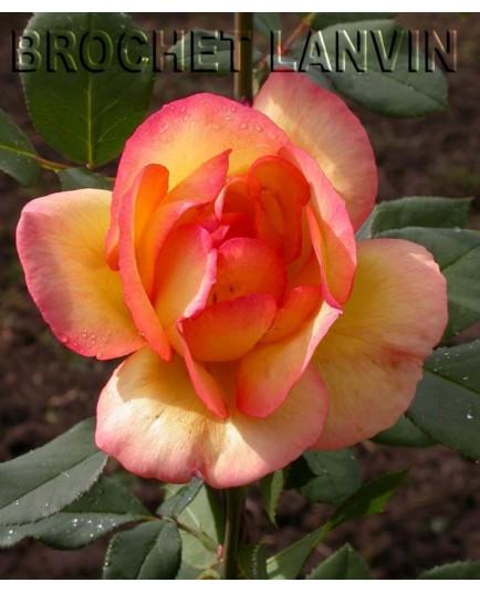 Rosa 'Parure d'Or' - Rosaceae - Rosier