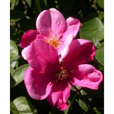 Rosa 'Patricia Beucher' - Rosaceae - Rosier