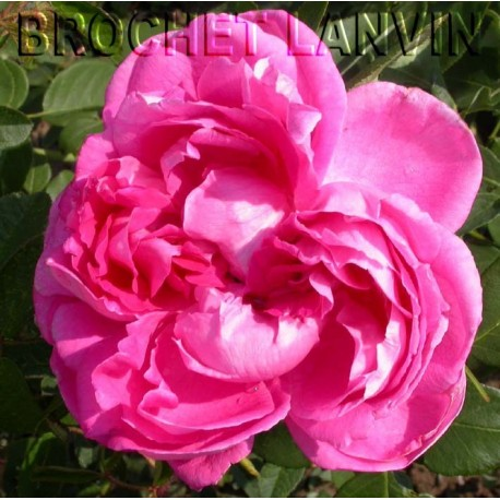 Rosa 'Paul Neyron' - Rosaceae - Rosier