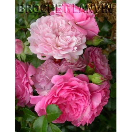 Rosa 'Paul Ploton' - Rosaceae - Rosier couvre sol