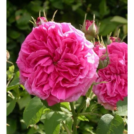 Rosa 'Paul Ricault' - Rosaceae - Rosier