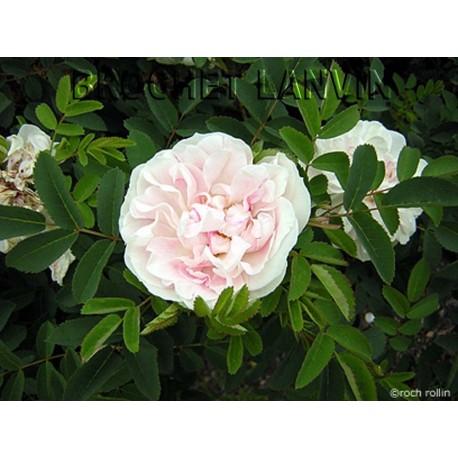 Rosa 'Paula Vapelle' - Rosaceae - Rosier