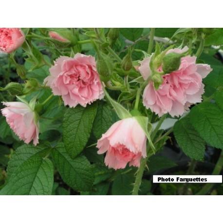 Rosa 'Peach Grootendorst' - Rosacaeae - Rosier