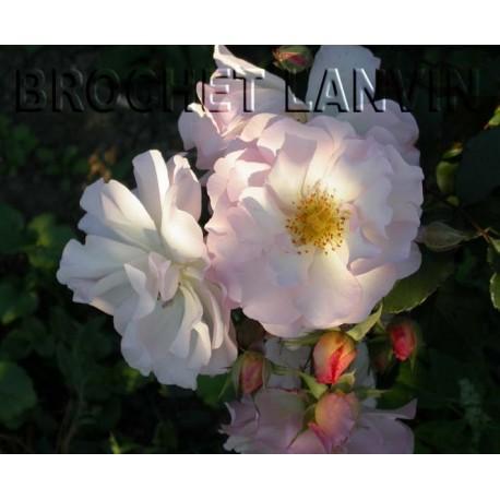 Rosa 'Penelope' - Rosaceae - Rosier