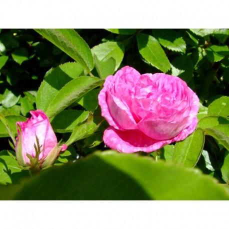 Rosa 'Petite rose de mai' - Rosaceae - Rosier