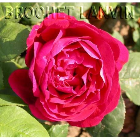 Rosa 'Pierre Notting' - Rosaceae - Rosier