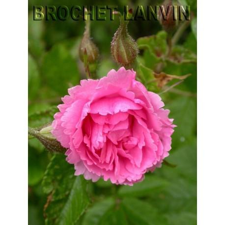 Rosa 'Pink Grootendorst' - Rosaceae - Rosier