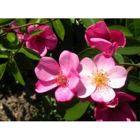 Rosa 'Plaisanterie' - Rosaceae - Rosier