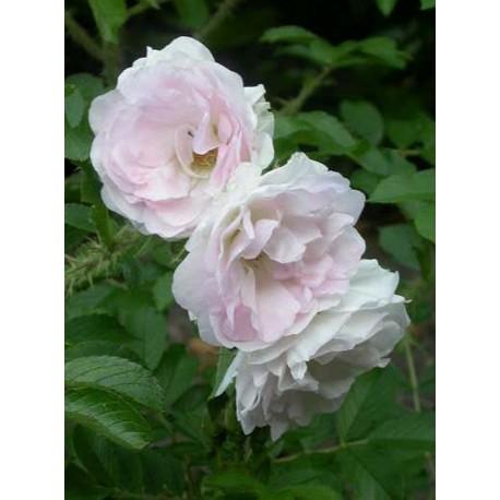 Rosa 'Polearis' - Rosaceae - Rosier