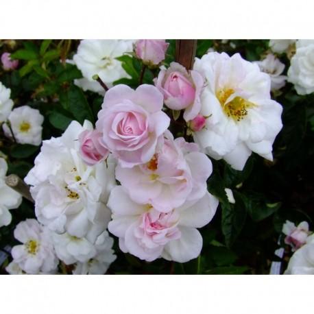 Rosa 'Porcelaine de Chine' - Rosaceae - Rosier