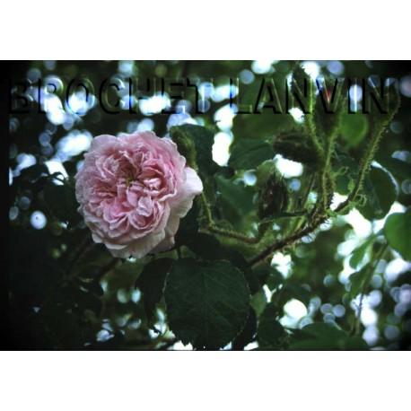 Rosa 'Princesse Adélaide' - Rosaceae - Rosier