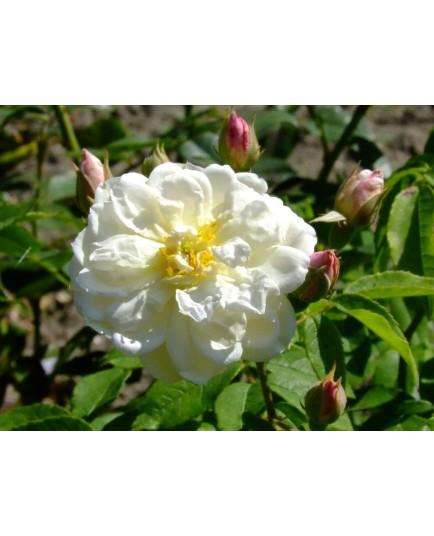 Rosa 'Princesse de Nassau' - Rosaceae - Rosier