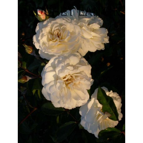 Rosa 'Prosperity' - Rosaceae - Rosier