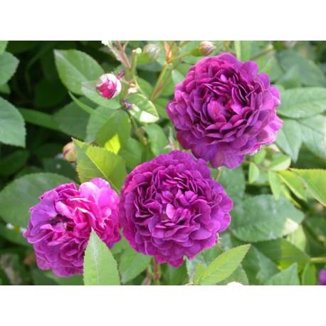 Rosa 'Provins Bleu' - Rosaceae - Rosier arbuste