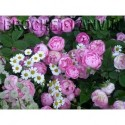 Rosa 'Raubritter' - Rosaceae - Rosier couvre sol