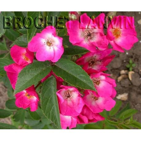 Rosa 'Red Ballerina' - Rosaceae - Rosier