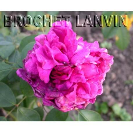 Rosa 'Reine des Violettes' - Rosaceae - Rosier
