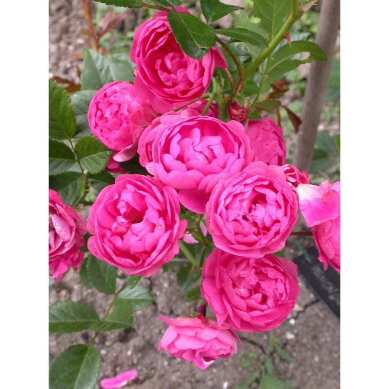 rosa renoncule rosier nain. Black Bedroom Furniture Sets. Home Design Ideas