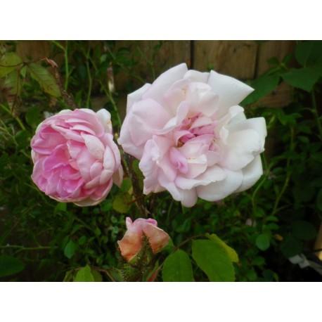 Rosa 'Robert Léopold' - Rosaceae - Rosier arbuste