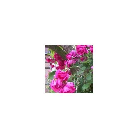 Rosa 'Roi de Siam' - Rosaceae - Rosier