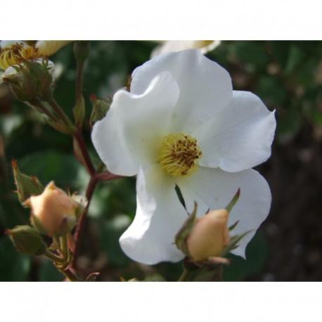 Rosa 'Rosalita' - Rosaceae - Rosier