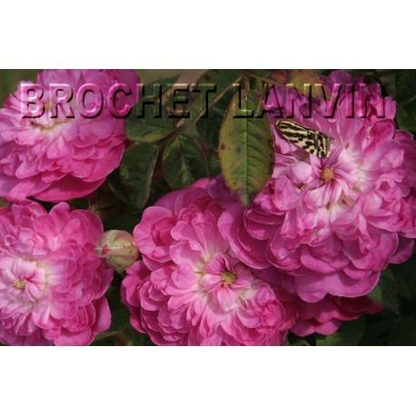 Rosa 'Rose de Meaux' - Rosaceae - Rosier