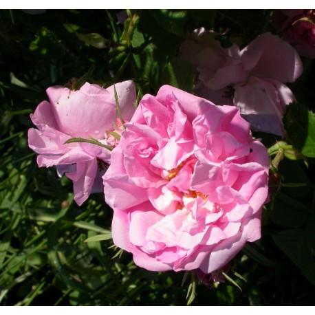Rosa 'Rose Chou' - Rosaceae - Rosier