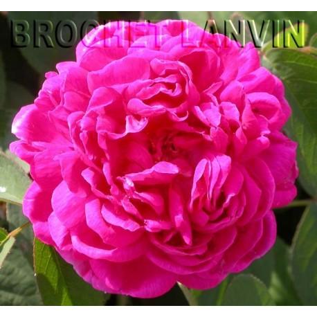 Rosa 'Rose de Resht' - Rosaceae - Rosier