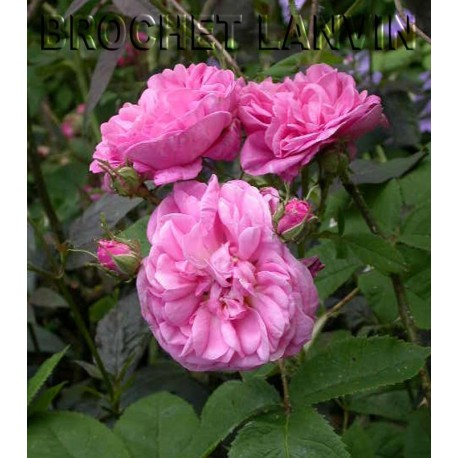 Rosa 'Rose des Peintres' - Rosaceae - Rosier